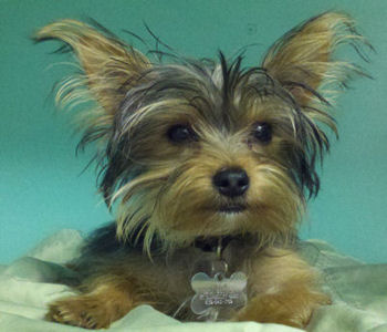 Rescue yorkshire terriers kent