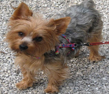 Yorkshire terrier rescue centre