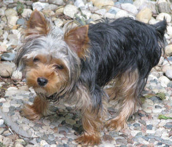 Yorkshire Terrier National Rescue