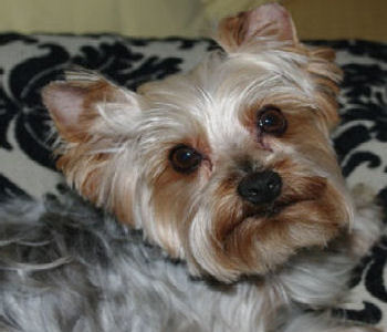 Yorkshire Terrier National Rescue Adoptions And Shop